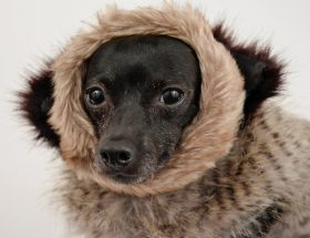 Dog in fur coat